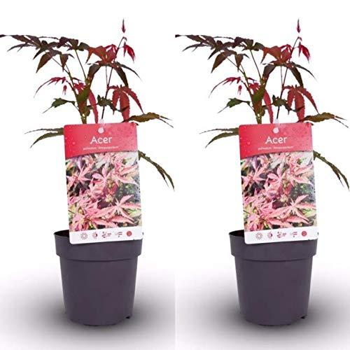 2 x Acer Atropurpureum Plants in 11cm Pots - Japanese Maple Plants