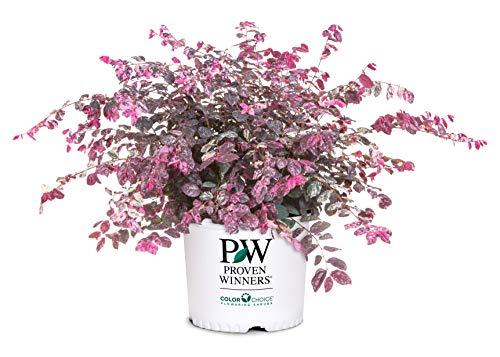Proven Winner Jazz Hands Loropetalum, 2 Gal, Variegated Pink and White Foliage
