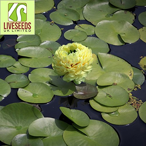 Liveseeds - Mini Yellow Bonsai Lotus/Water Lily Flower/5 graines fraîches
