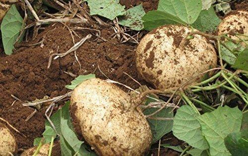 5 graines de Jicama Yam mexicaine des haricots Pachyrhizus erosus Heirloom Rare Sweet & croquants