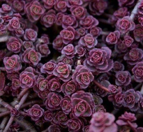 50 Sedum Viola Carpet semi Deep Rose Rosa di fioritura CombSH succulenta