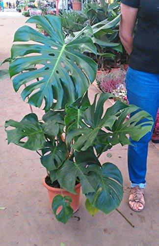 Monstera o costilla de Adan (80 - 100 cm aprox. ) - Planta viva de interior