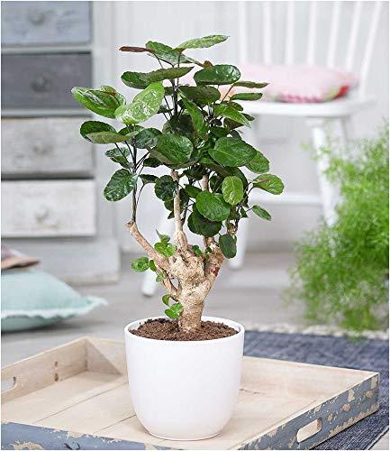 BALDUR-Garten Fiederaralie - Polyscias ca. 40 cm hoch, 1 Pflanze Aralia Zimmerpflanze Zimmerpflanze