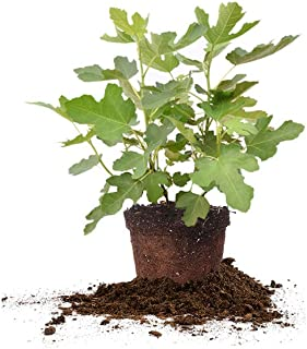 Perfect Plants Chicago Hardy Fig Tree Live Plant, 3 Gallon, Includes Care Guide