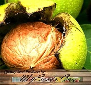 5 Seeds - Northern California / Hinds Black Walnut Seeds - Juglans hindsii