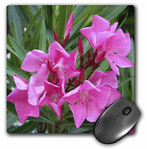 3drose LLC 20,3 x 20,3 x 0,6 cm muispad, oleander, roze – roze, bloem, boom, oleander, bloempot, tropische plant, Buds (MP 46849 1)