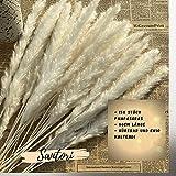 Santori Pampasgras Natürlich & Getrocknet Hellbeige 15stk EIN Hingucker 60cm Home Deko Schilf - Phragmites Communis - Für Vasen Beige Trockenblumen Dekoration - 7