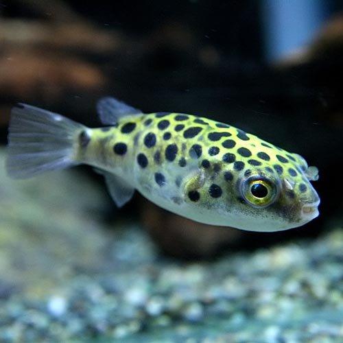 (熱帯魚)ミドリフグ(約2-3cm)<5匹>[生体]