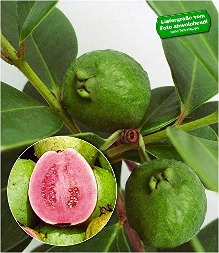 BALDUR Garten Echte Guave 1 Pflanze Psidium guajava