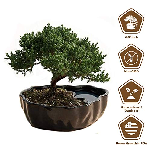 9GreenBox - Zen Reflections Juniper Bonsai