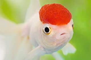 Art Print on Canvas Wall Decor Poster (red head goldfish) Size:20x30inch