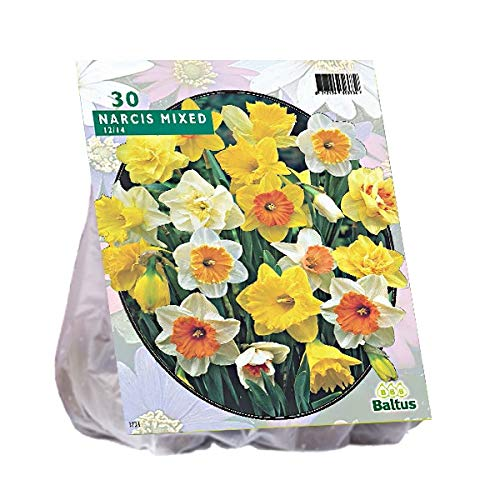 Narcis Trompet 25 Stück Osterglocken Narzissen Blumenzwiebel