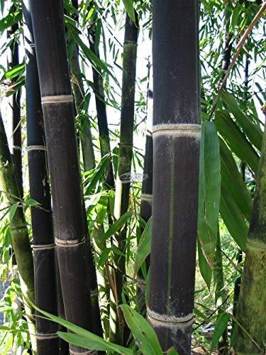 200 graines de frais de bambou noir (Phyllostachys nigra)