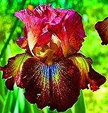 Schwertlilie Pflanze,Regenbogengöttin,Teichpflanzen Winterhart,Bartiris,Schwertlilien Winterhart Staude,Schwertlilie Zwiebeln,Iris Staude-2 Zwiebeln,a