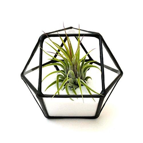 Cubitronqué à l'envers/géométrique Terrarium en verre/pot de fleurs moderne/fait à la main en Angleterre Extra small Noir
