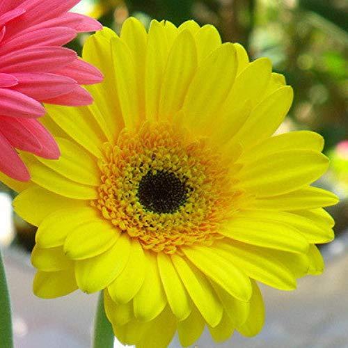 Semillas de Flores perfumadas,Gerbera Semillas de Flores florecen 20 cápsulas en Cuatro Estaciones-W4_1 Paquete