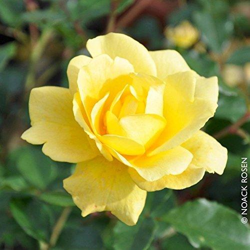 """Beetrose """"Westart®"""" - Leuchtend gelb blühende ADR-Topfrose im 6 L Topf - frisch aus der Gärtnerei - Pflanzen-Kölle Gartenrose"""