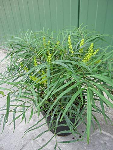 Mahonia eurybracteata Soft Caress - Chinesische Mahonie Soft Caress - stachellose Mahonie -