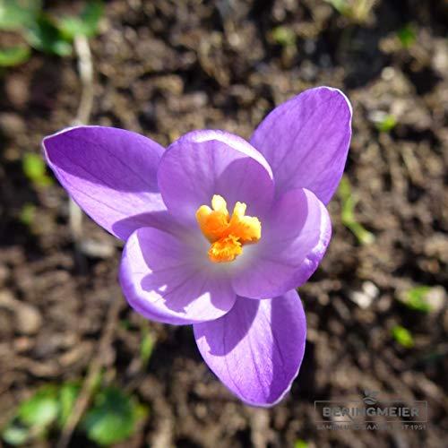 Blumenzwiebeln Krokuszwiebeln Elfenkrokus Crocus tommasinianus - DER ECHTE (Dalmatinischer Krokus) (50 Zwiebeln)