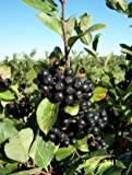 ARONIA BERRY Hardy nativo Superberry con beneficios a montones! ~ CHOKEBERRY NEGRO!'Aronia melanocarpa' 10+ Semillas perenne fruta!