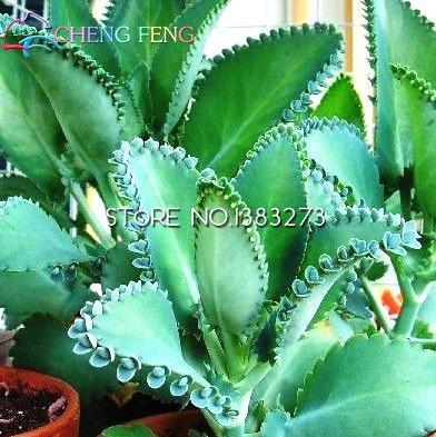 2016 Graines Nouveau Vente 50pcs Kalanchoe Bonsai Fleur Rare SeedsAndPlants Jardin Air Purification intérieur Plantes Pot Novel Succulentes Ship gratuit