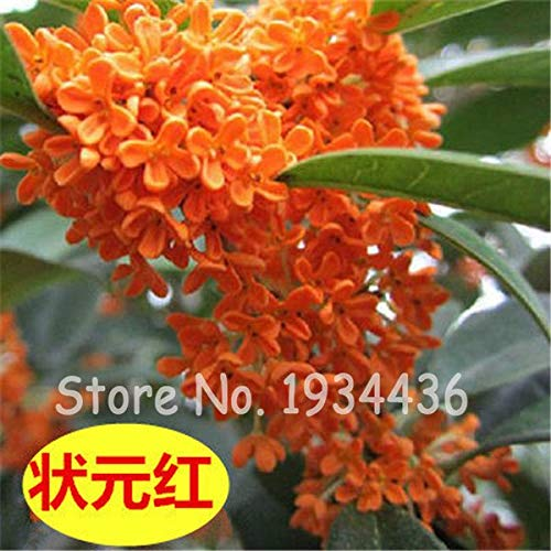 Bloom Green Co. 100 PC-Bonsai Osmanthus Fragrans Blumen Süße Olivenbaum Garten Töpfe Zierpflanze mehrjährigen Pflanzen im Freien Start Waren zum Verkauf: A10-20pcs
