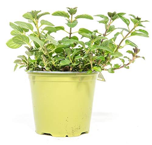 mgc24 Schokominze, echte frische Kräuter Pflanzen im 14cm Topf, Mentha x piperita, Höhe ca. 10cm