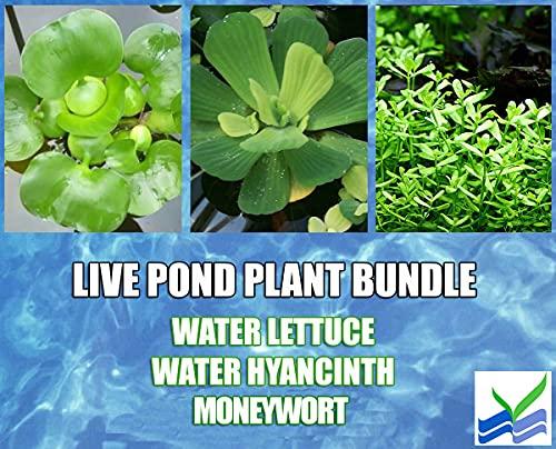 3 Water Lettuce + 3 Water Hyancinth Bundle + Moneywort - Floating Live Pond Plants + Marginal Plant