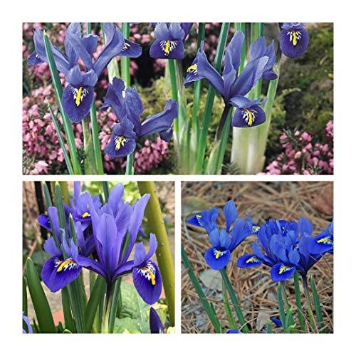Humphreys Garden Iris Reticulata Harmony x 50 Bulbs Size 5up
