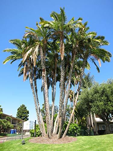 FERRY HOCH KEIMUNG Seeds Nicht NUR Pflanzen: Senegal-Dattelpalme Phoenix reclinata 20 ()