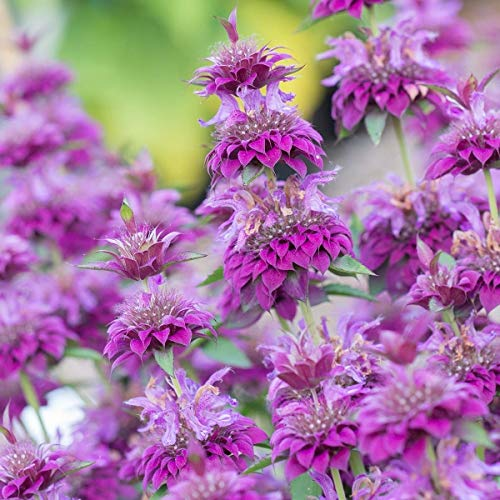AIMADO Samen-50 Pcs Indianernessel duftet nach Zitrone Blumensamen blühfreudige Staude Sommer Herbst Blumen Saatgut ideal für Garten Balkon