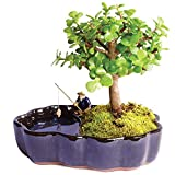 "Brussel's Bonsai Live Dwarf Jade Indoor Bonsai Tree in Zen Reflections Pot-3 Years Old 8"" to 10"" Tall,"