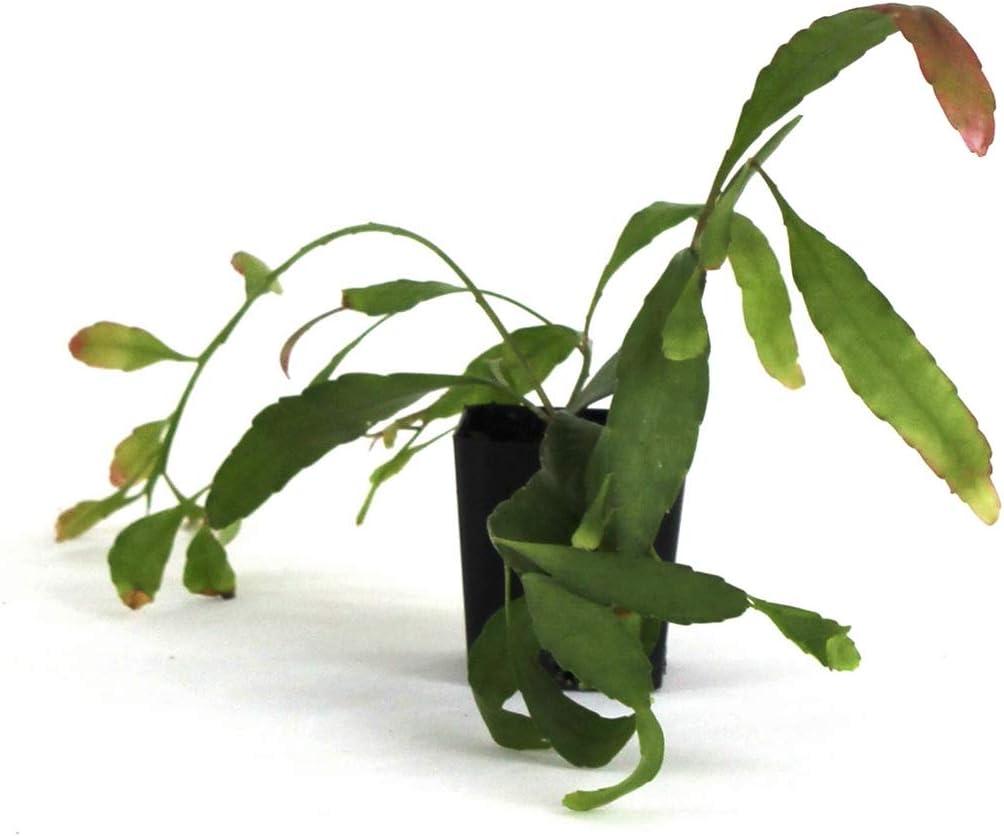 Rhipsalis ramulosa New York Mall - Red Mistletoe Dealing full price reduction Cactus