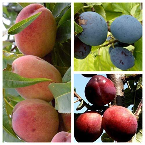 Müllers Grüner Garten Shop Familienbaum Trio Multi Fruit Tree: Pfirsich - Blaue Pflaume - Rote Pflaume auf einem Baum