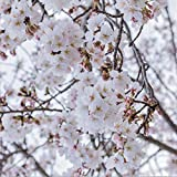 Beautiful Flowering Cherry Tree (ASF) Healthy Live Plant (Yoshino)