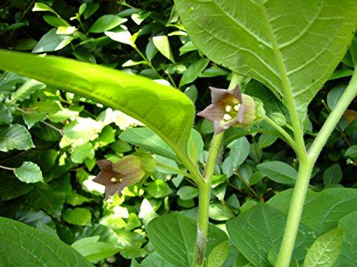 Asklepios-seeds® - 200 Samen Atropa belladonna, Schwarze Tollkirsche, Hexenkraut