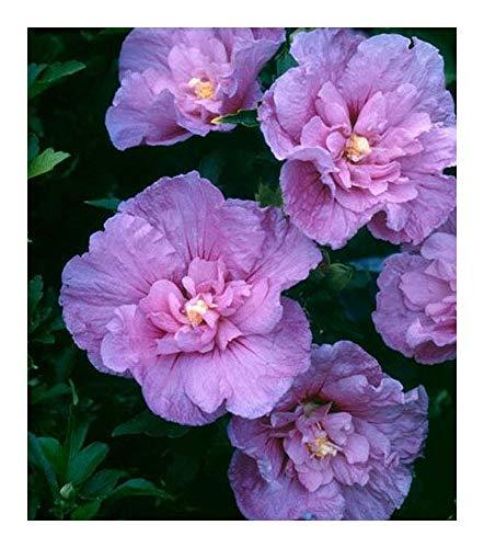 Hibiscus syriacus Lavender Chiffon - Althéa - 20 graines