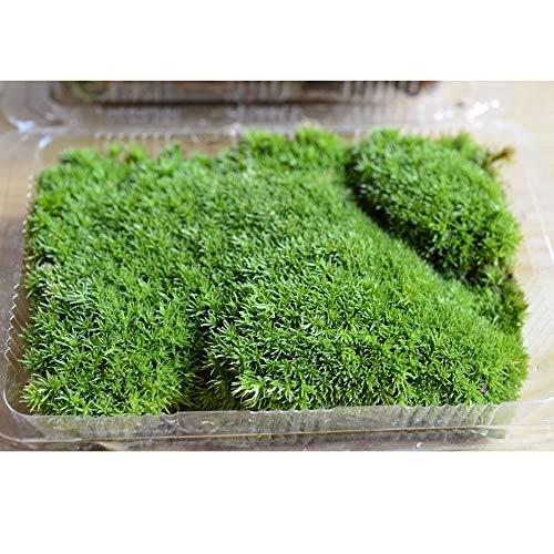 Mousse Lichen Stabilisé, Vert Forêt Vététal pour Décoration des Plantes de Patio/Tableaux Végétaux/Modélisme/Aquarium/Miniature - 10 * 8.5cm