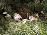 ScoutSeed Miscanthus sinensis New Hybrids (Chinesisches Silbergras) - 40 Samen