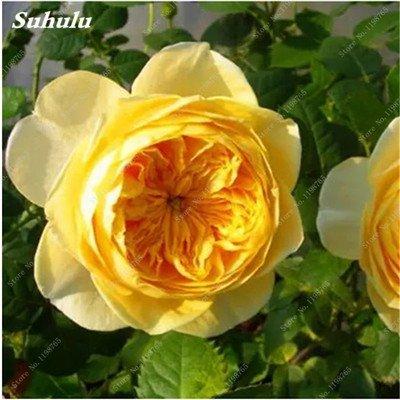 Mixed Seeds Rose, 200 Pcs Rare Bonsai Fleurs Rose, mélanger les couleurs Croissance naturelle Plante en pot pour le jardin Suppies Représentant Amour 9