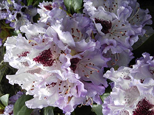 Rhododendron - 40