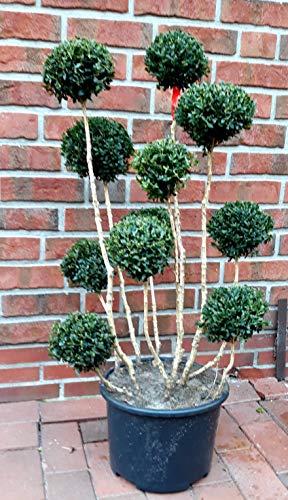 Buchsbaum Bonsai, Buxus PomPon, Höhe: 100-110 cm, Formpflanze + Dünger