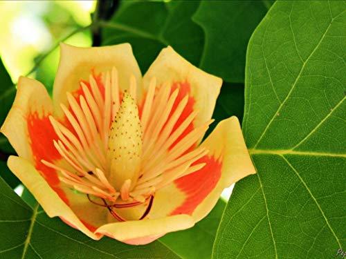 Nouveau jardin 10 planter des graines Tulip Tree, Liriodendron tulipifera, Graines Arbre (Couleurs d'automne) Livraison gratuite