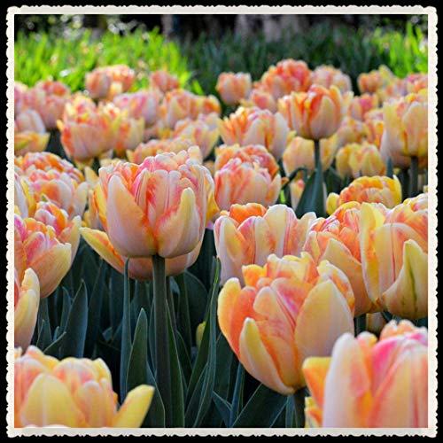Tulipani bulbi-Bulbi da fiore,Bella e rara decorazione da giardino di lampadine Lycoris, una varietà di colori viene inviata a caso, adatta per la semina ora-5 Bulbi,arancia