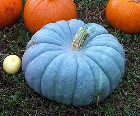 Exotic Blue Pumpkin Seeds   20 Seeds Packet   Blue Jarrahdale Pumpkin Seeds