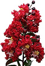 Dynamite Crape Myrtle Lagerstroemia Indica 'Whit II' P.P.# 10296 - Established One Gallon Potted - 1 Plant by Growers Solution