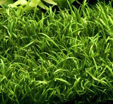 WFW wasserflora XL In-Vitro Carolina Graspflanze Lilaeopsis carolinensis im XL-Cup