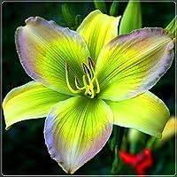 魔法の装飾用植物,中庭の装飾,庭の宝物,美しい観賞用花,カンゾウの根茎-30 根茎,3