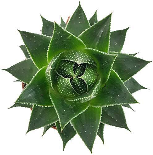 Fangblatt - Aloe Cosmo - atemberaubende Sukkulente - pflegeleichte Zimmerpflanze - die Aloe wächst kugelartig und ist eine Schönheit auf dem sonnigen Fensterbrett