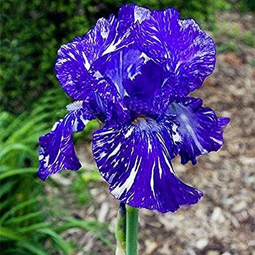 6 Stücke Iris Zwiebeln Gute Wahl Für Schnittblumen Geeignete Exquisite Lila Streifen Frühlingsblühende Blumen Effizientes Pflanzen In Gärten Im Freien